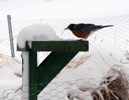 An American Robin samples the worms.