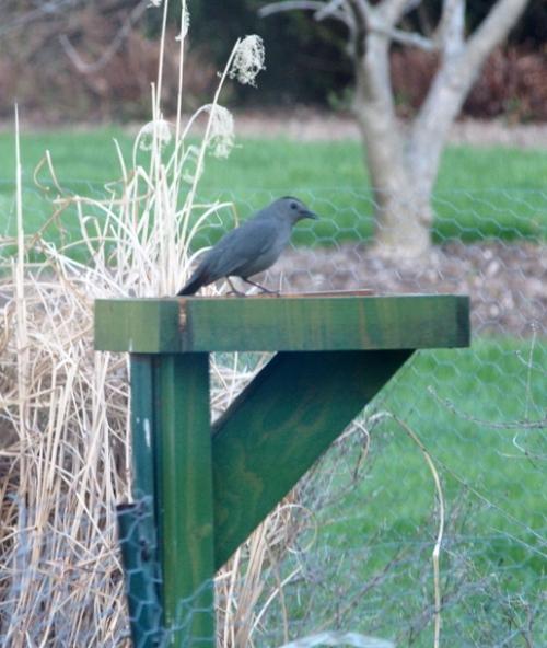 Grey Catbird on meal worm feeder