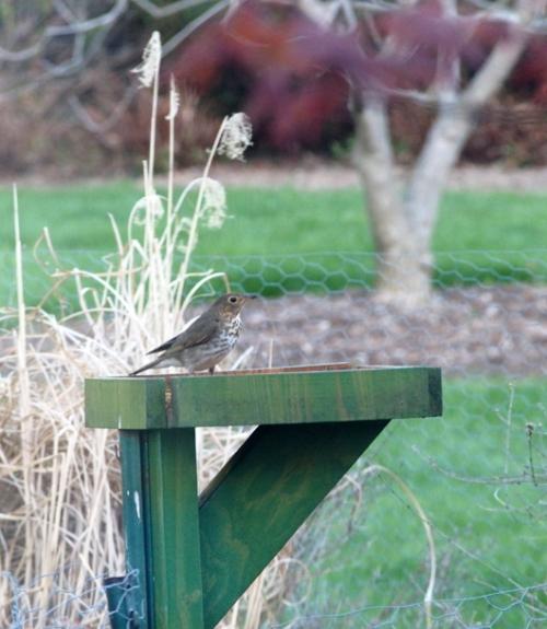 Hermit Thrush on meal worm feeder