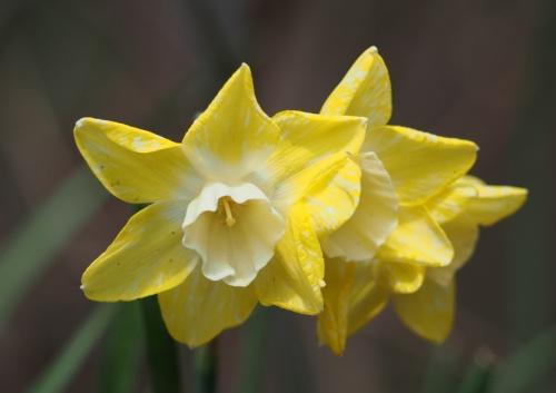 Petite Multi-bloom daffodils