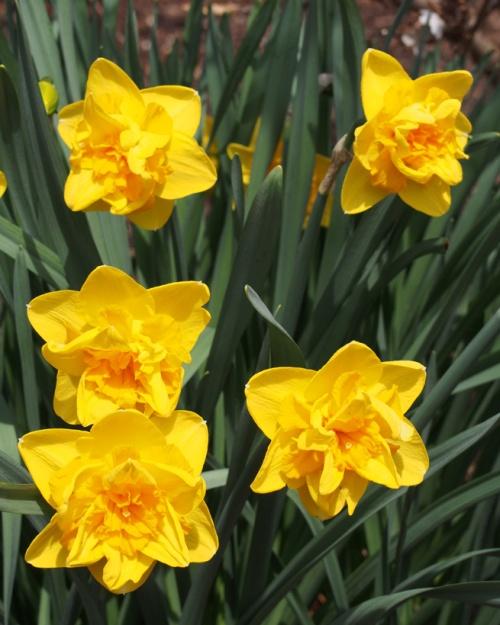 Multi-center daffodils