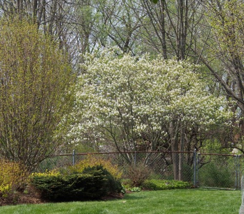 Serviceberry tree in Bloom
