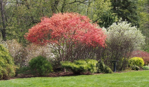 Japanese Maple with fragrant viburnum and serviceberry bush