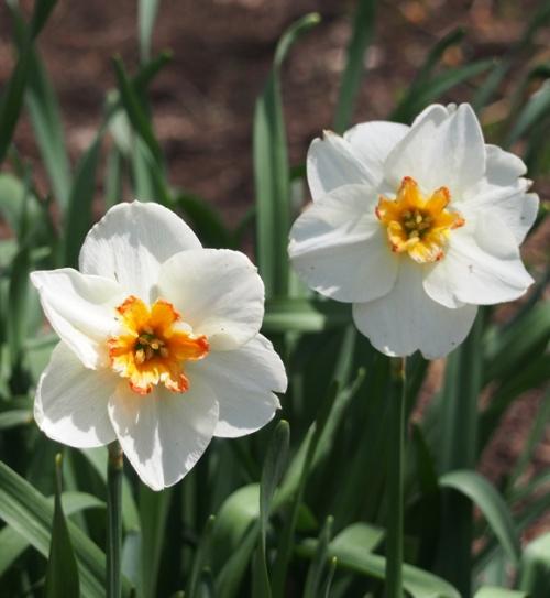 White daffodil with orange center