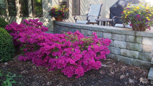 Fuschia Azalea and Pots on Patio