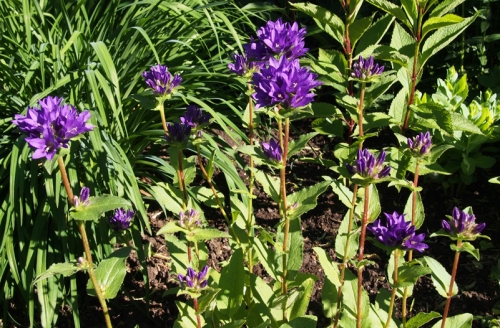 Purple Clustered Bellflower