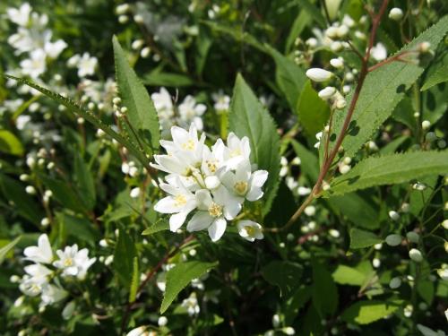 Deutzia Flowers
