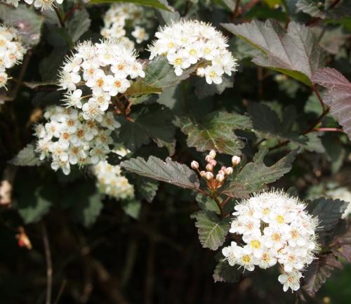 Ninebark flowers