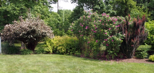 North West corner Ninebark, spirea, rugosa rose, barberry