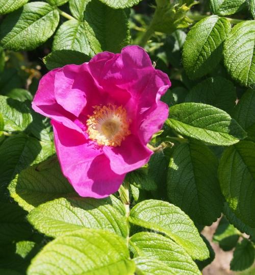 Ragusa Rose