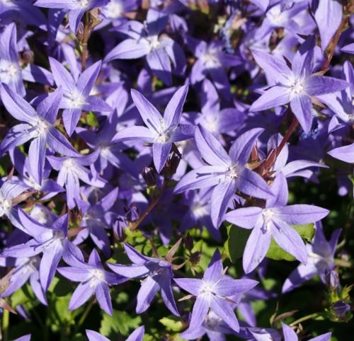 Serbian bellflower - close up