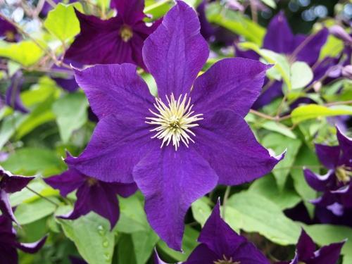 Clemetis flower