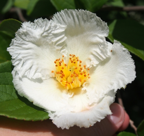 Stewartia tree flower