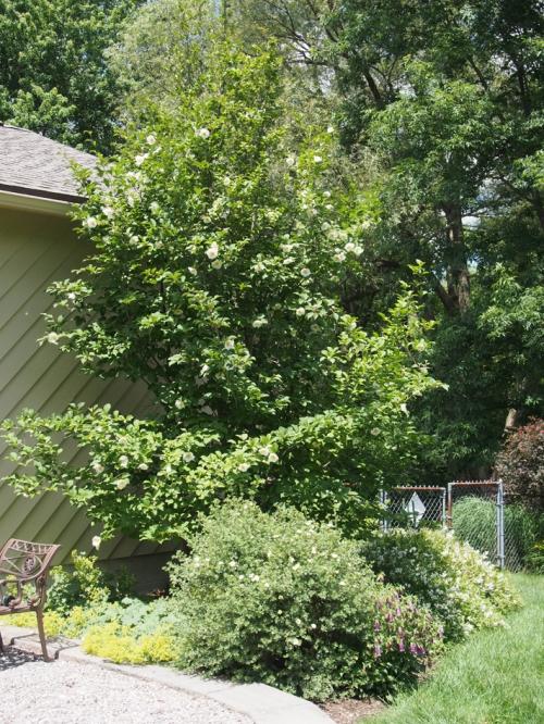 Stewartia tree, potentilla and campanula