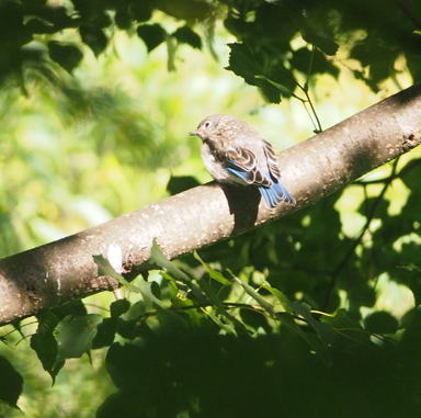 A baby bluebird spotlighted in our linden tree