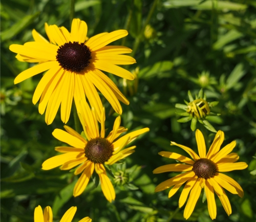 Close up of Black eyed Susan