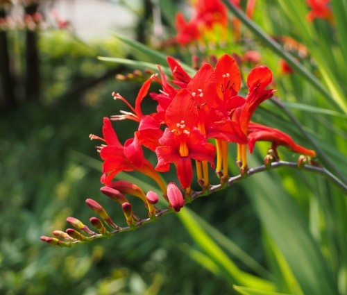 Crocosmia close up