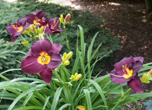 dark burgundy yellow center ruffled day lily