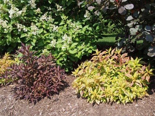 Dwarf red weigela and dwarf yellow verigated weigela