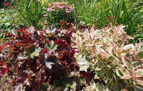 Dwarf variegated weigela with red heuchera