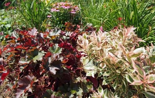 Dwarf variegated weigela with red heuchera