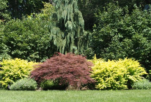 Japanese maple surrounded by yellow barberry