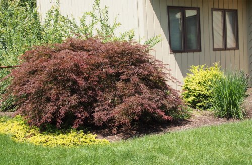 Japanese maple with yellow rug juniper and yellow barberry