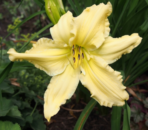 large pale yellow day lily
