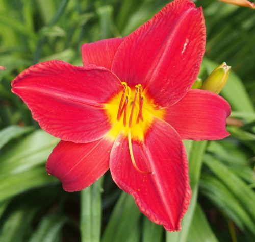red with yellow center day lily