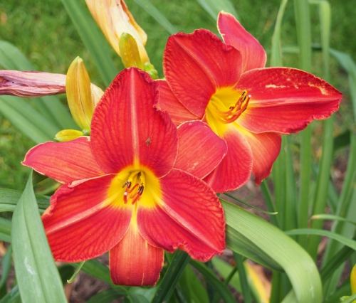 red with yellow center day lily - with bug