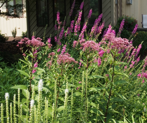 White gayfeather, Joe Pye Weed, and Loosestrife (Front to Back)
