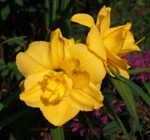 yellow rose day lily