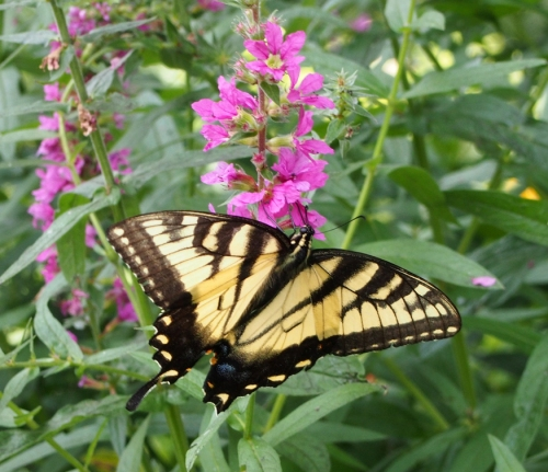 Eastern tiger swallowtail feasting on loosetrife