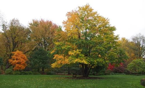 Acer triflorum & katsura trees