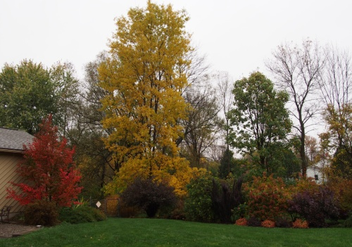 Stewartia & Bitternut Hickory trees with shrubs