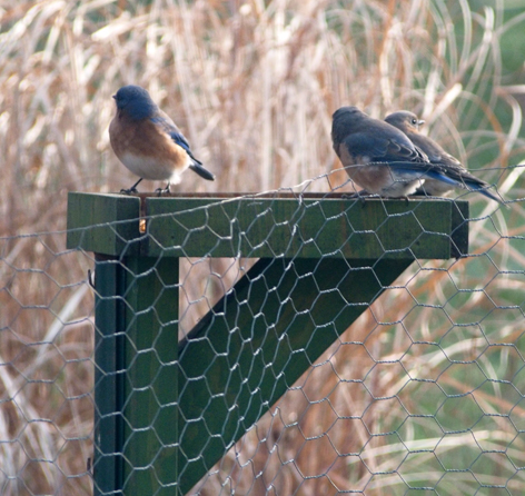 Three of the four Bluebirds