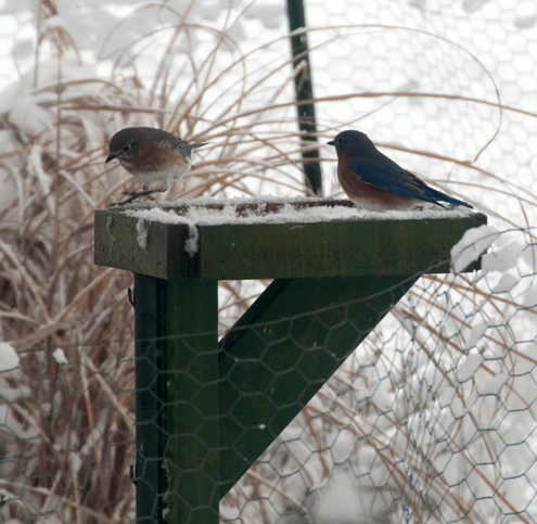 Bluebirds are so happy to have some mealworms