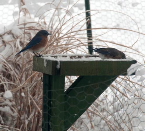 Male and Female Bluebird