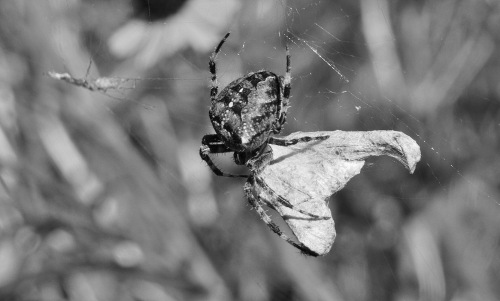 garden spider and prey BW - lr