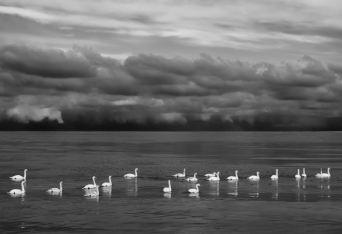 Mute Swans and Storm Clouds