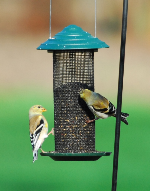 goldfinches at feeder 3