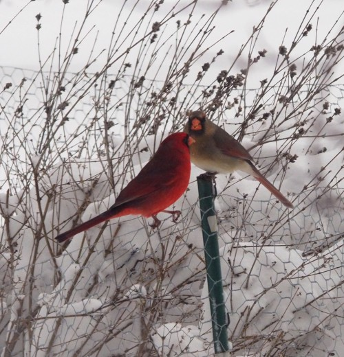 Mr Mrs Cardinal feeding