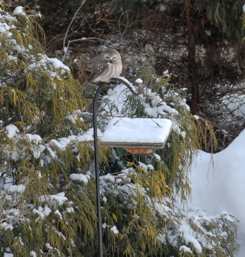 Northern Saw-Whet Owl on suet feeder