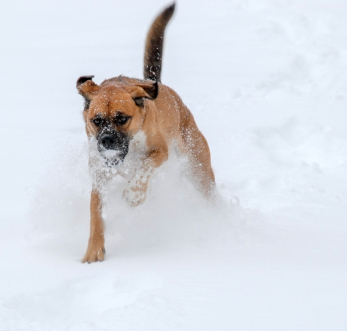 Walter - zooming with snowball in mouth - lr