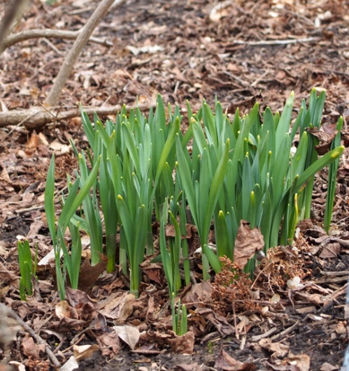 Some Daffodils starting to poke out of the ground.