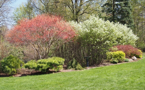 Japanese maple tree leafs out and Service Berry shrubs in bloom