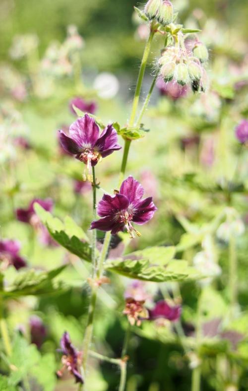 Perennial Geranium flowers