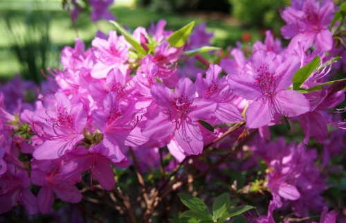 pink Azalea - close up