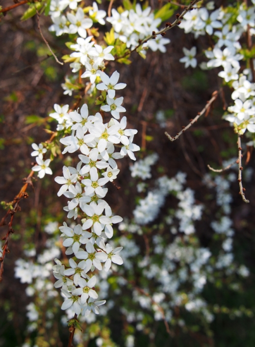 A cascade of spirea blooms
