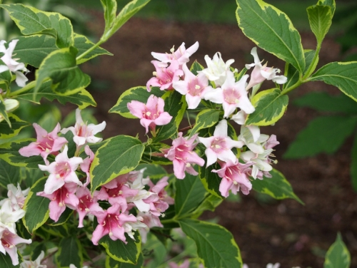Variegated Weigela Flowers